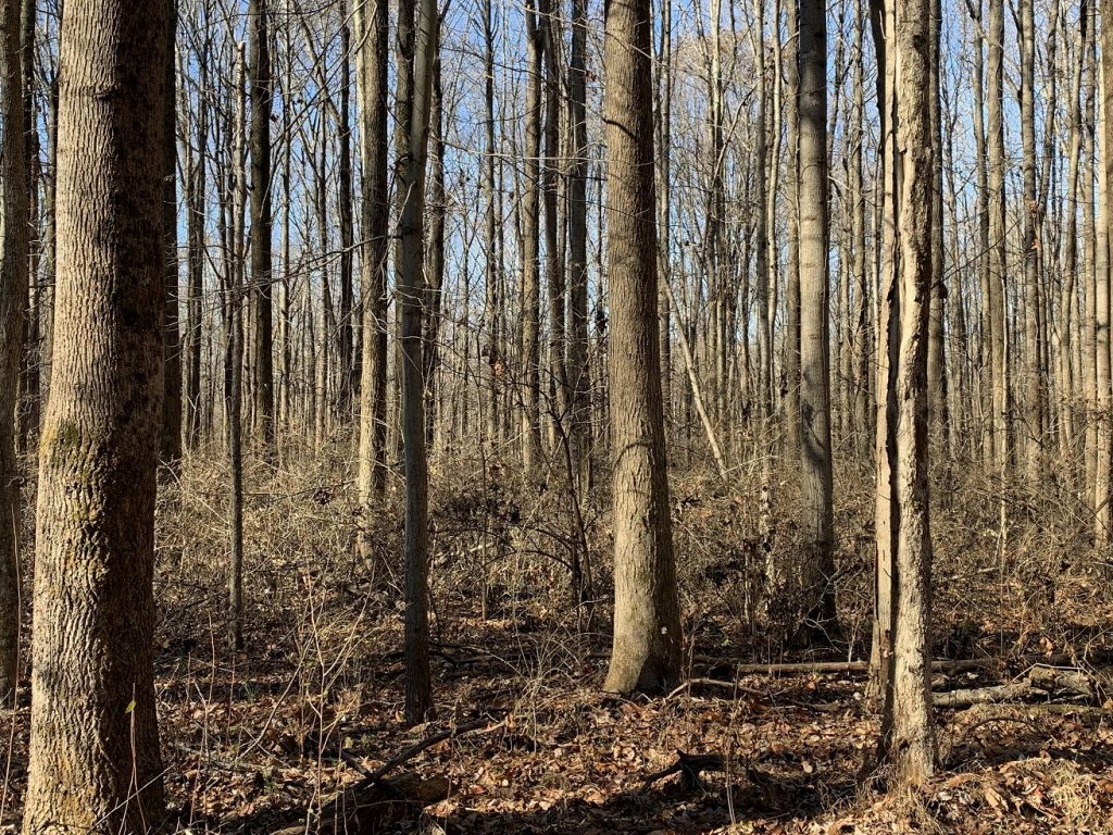 Photo of deciduous trees in the upland forest at Beall Woods State Park outside of the nature preserve.